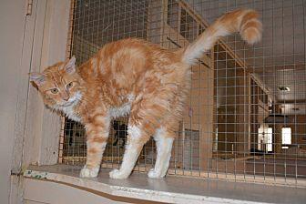 Domestic Shorthair Cat for adoption in Jurupa Valley, California - Porkchop
