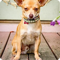 Chihuahua Mix Dog for adoption in Enfield, Connecticut - Murphy