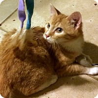 Domestic Shorthair Cat for adoption in Savannah, Georgia - Penney