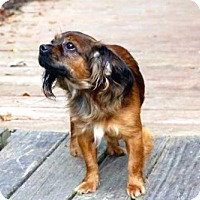 Cavalier King Charles Spaniel Mix Dog for adoption in Norfolk, Virginia - BENJAMIN BUTTONS