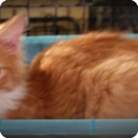 Domestic Longhair Kitten for adoption in Fairborn, Ohio - Sunny