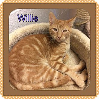 Domestic Shorthair Kitten for adoption in Atco, New Jersey - Willy