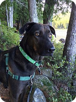 Shepherd (Unknown Type)/Labrador Retriever Mix Dog for adoption in kennebunkport, Maine - Loki - in Maine, Courtesy Post