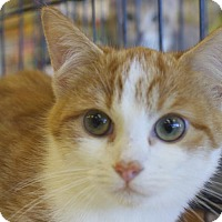 Adopt A Pet :: .Pumpkin - Ellicott City, MD