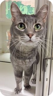 Domestic Shorthair Cat for adoption in Joplin, Missouri - Mouse 5083