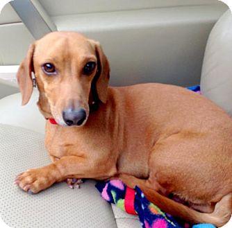 Dachshund Dog for adoption in Houston, Texas - Calvin Rankin