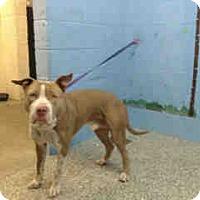 Adopt A Pet :: URGENT on 12/9 SAN BERNARDINO - San Bernardino, CA