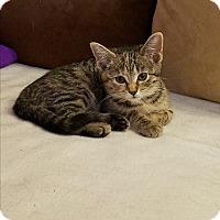 Adopt A Pet :: Amber - Whitehall, PA