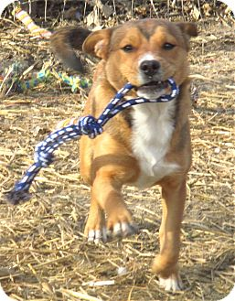 Terrier (Unknown Type, Medium)/Catahoula Leopard Dog Mix Puppy for adoption in Godley, Texas - Sabine