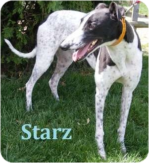 Greyhound Dog for adoption in Fremont, Ohio - Starz