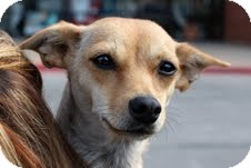 Chihuahua Mix Dog for adoption in Justin, Texas - Mimi