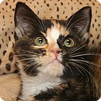 Adopt A Pet :: CHARLOTTE - SILVER SPRING, MD