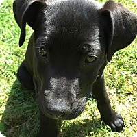 Adopt A Pet :: Star - Baltimore, MD