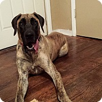 Adopt A Pet :: Rajah - Broomfield, CO