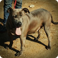 American Pit Bull Terrier Mix Dog for adoption in Demopolis, Alabama - Blue Girl