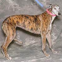 Greyhound Dog for adoption in Kansas City, Missouri - Gracie