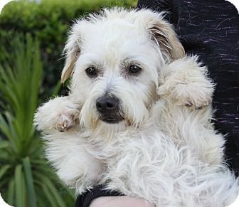 Maltese/Poodle (Miniature) Mix Puppy for adoption in Newport Beach, California - NOODLES