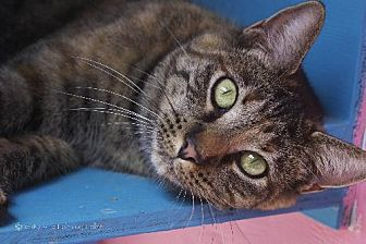 Domestic Shorthair Cat for adoption in Tucson, Arizona - Claire