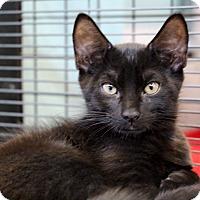 Adopt A Pet :: Norman - Sarasota, FL