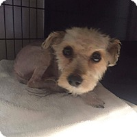 Yorkie, Yorkshire Terrier/Poodle (Miniature) Mix Dog for adoption in Santa Ana, California - Spud