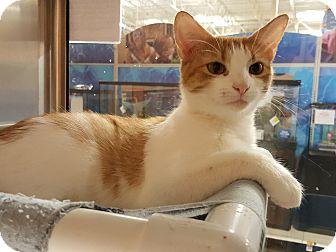 Domestic Shorthair Cat for adoption in Smithfield, North Carolina - Mittens