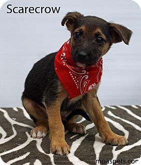 Shepherd (Unknown Type)/Labrador Retriever Mix Puppy for adoption in Waterbury, Connecticut - Scarecrow