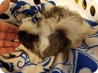Guinea Pig for adoption in Kenosha, Wisconsin - Shilo