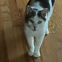 Domestic Shorthair Cat for adoption in Lakeville, Minnesota - Rupert