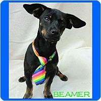 Adopt A Pet :: Beamer - Charlotte, NC