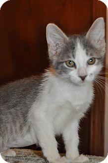 Domestic Shorthair Kitten for adoption in La Canada Flintridge, California - Kitten F