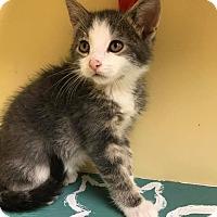 Adopt A Pet :: Capi - Maryville, MO