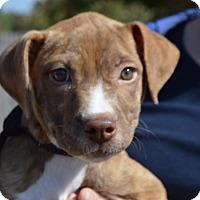 Adopt A Pet :: Chloe-ADOPTED - Springfield, MA