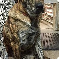 Adopt A Pet :: Tony the Tiger - Oswego, IL