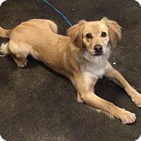 Adopt A Pet :: Belle - McKinney, TX