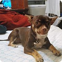 Chihuahua Mix Dog for adoption in Oakley, California - Anastasia