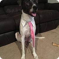 Adopt A Pet :: Domino - bullard, TX