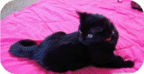 Domestic Shorthair Kitten for adoption in Chicago, Illinois - Taco