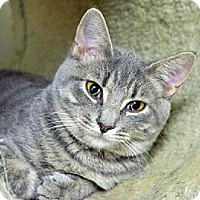 Domestic Shorthair Cat for adoption in Centreville, Virginia - Velma