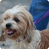 Adopt A Pet :: Sweetpea - Brattleboro, VT