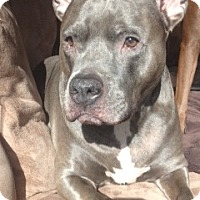 Adopt A Pet :: Blue~ Courtesy Post - Phoenix, AZ