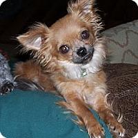 Adopt A Pet :: YoYo - San Angelo, TX