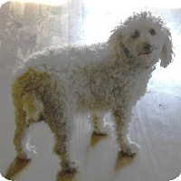 Adopt A Pet :: Cookie - dewey, AZ