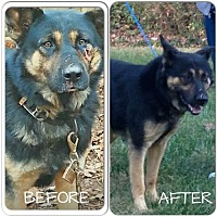 German Shepherd Dog Dog for adoption in Morrisville, North Carolina - Captain