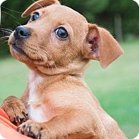 Adopt A Pet :: Penne - $250 - Seneca, SC