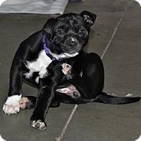 Adopt A Pet :: Cora - Meridian, ID