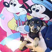 Adopt A Pet :: Mona - Oviedo, FL
