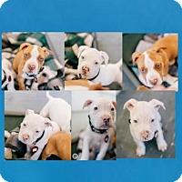 Adopt A Pet :: Madelia - San Francisco, CA