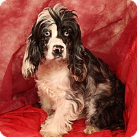 Adopt A Pet :: Trixie Cocker - St. Louis, MO