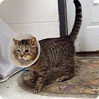 Adopt A Pet :: Thomas - Shelby, MI