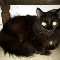 Domestic Longhair Cat for adoption in Bonita Springs, Florida - Reno
